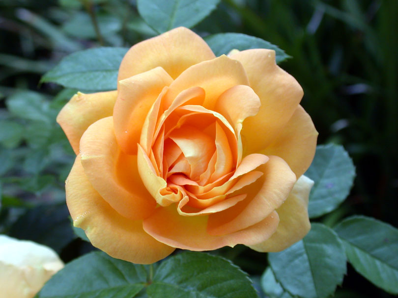 yellow rose of hope cancer article - Photography all rights reserved E.J. Bordini, Ph.D.