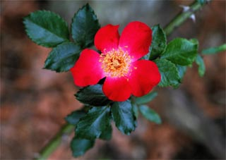 little red rose - all rights reserved Ernest J. Bordini, Ph.D.