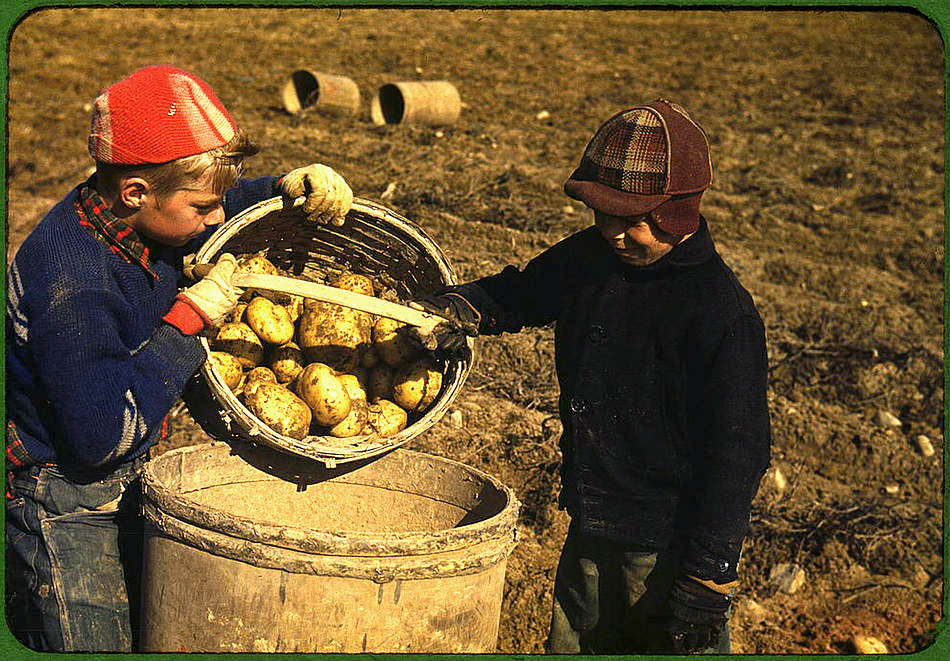 Historical archive photo children picking potatoes