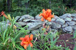 vermont lilies - all rights reserved Ernest J. Bordini, Ph.D.